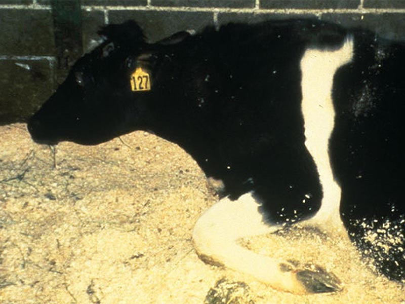 Καπιταλιστική βιομηχανία τροφίμων - Nόσος των «τρελών αγελάδων»