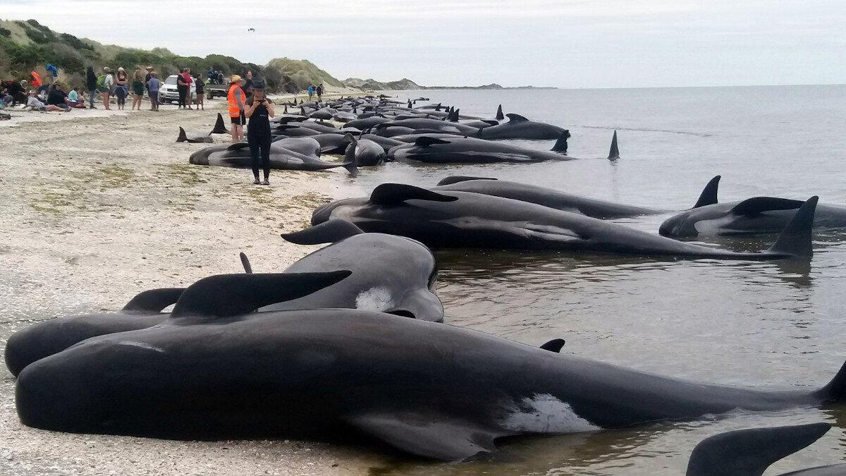 100 φάλαινες πιλότοι και δελφίνια πέθαναν αφού εξώκειλαν στα απομονωμένα νησιά Κάθαμ, περίπου 800 χιλιόμετρα από τις ανατολικές ακτές της Νέας Ζηλανδίας