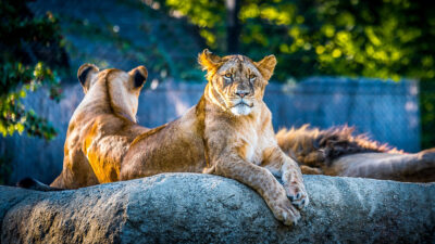 λιοντάρια σε ζωολογικό κήπο