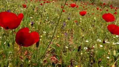 Άνοιξη - λιβάδι - παπαρούνες - λουλούδια - αίθριος καιρός
