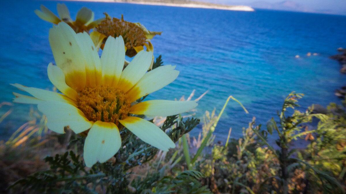 Άνοιξη - μαργαρίτα - λουλούδι - θάλασσα